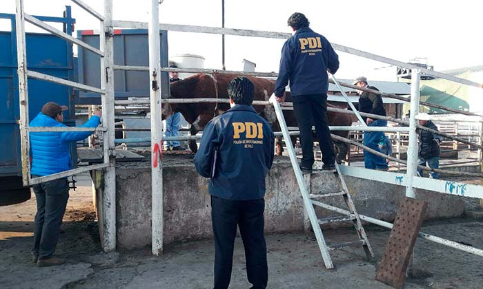 Desbaratan matadero clandestino en Pichidegua
