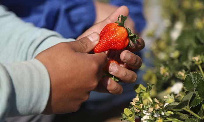 Litueche: Ruta de la frutilla sustentable