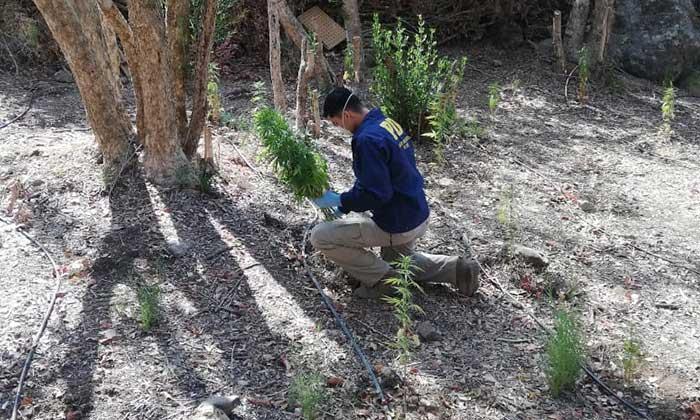 Incautan plantaciones de marihuana en Rengo y Santa Cruz