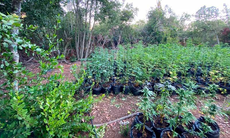 Descubren 2.500 plantas de marihuana en precordillera de Chimbarongo